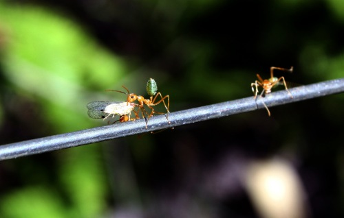 Green-Bottomed Ant