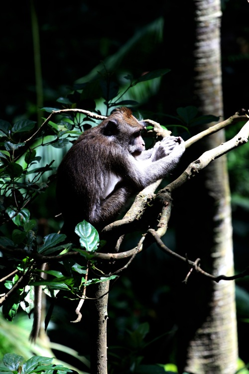 Macaques! 2