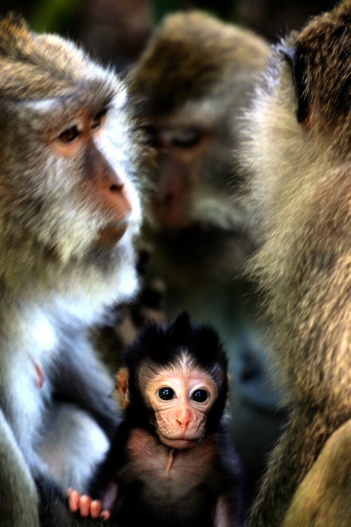 Macaques!