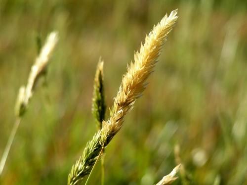 Grasshead 1