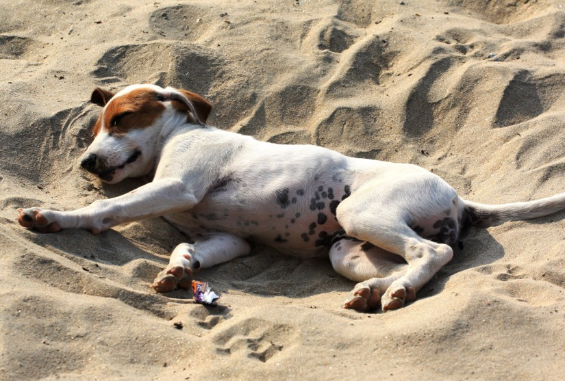 Image result for stray dogs goa