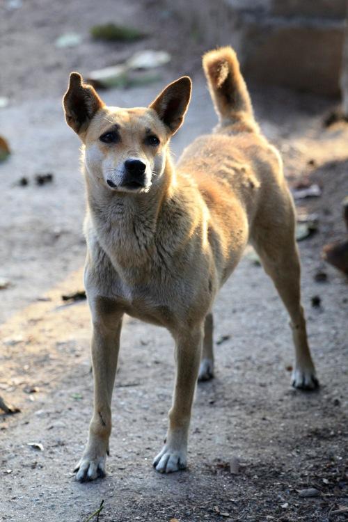 Darjeeling Dogs