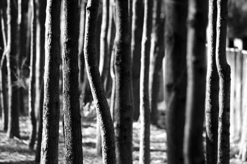1602 Slender trunks