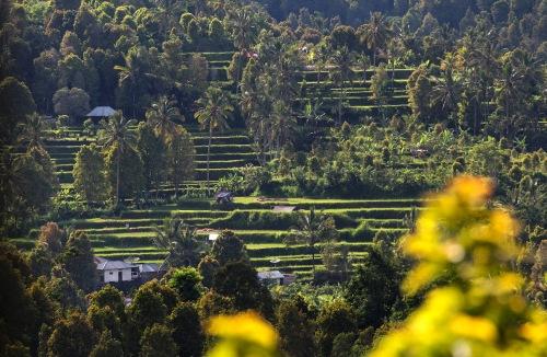 8901 Munduk ricefields