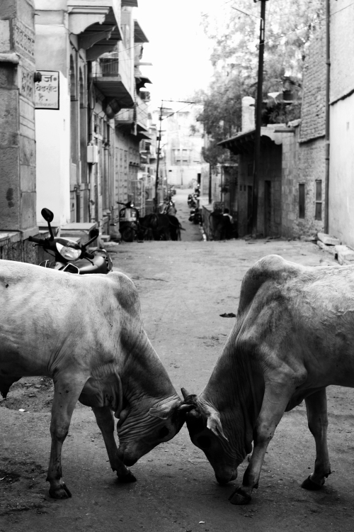 Young Bulls, Jaisalmer, Rajasthan, March 30, 2010