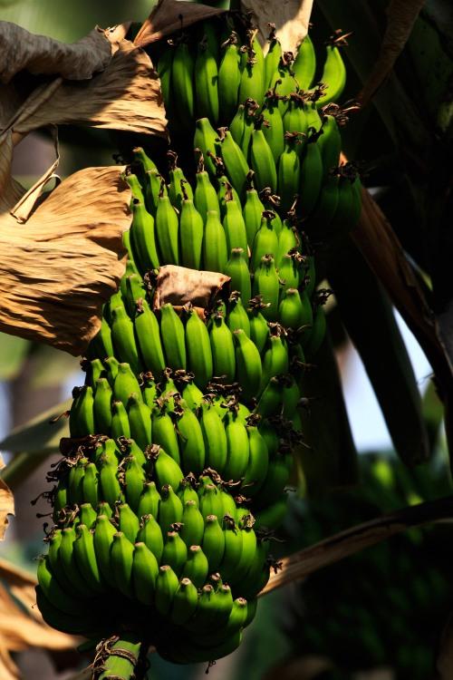 3135 sensuous bananas