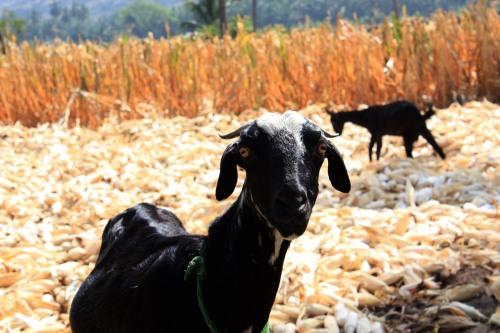 4218 Goats eating cornhusks