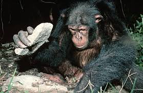 chimp with rock tool