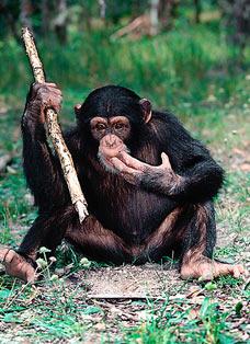 chimp with stick