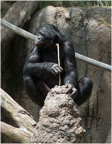 chimpanzee-fishing-for-termites