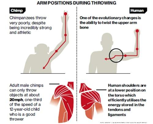 Humans vs chimps, throwing