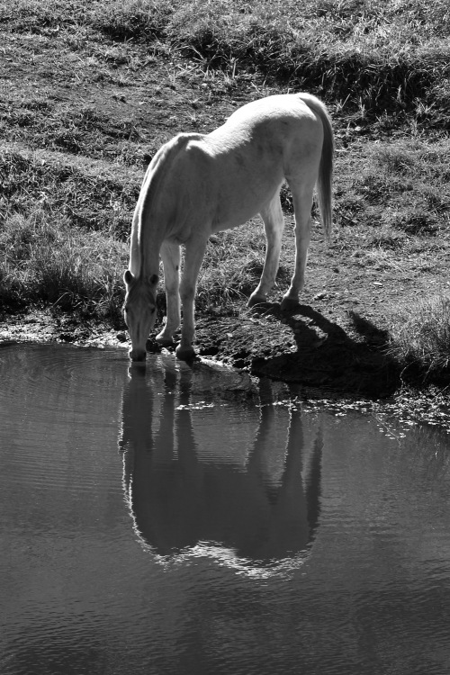 4339 Horse drinking