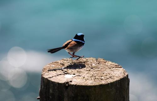 6221 Blue birdy