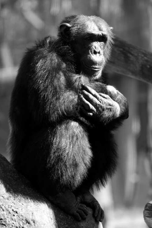 2356 Chimp