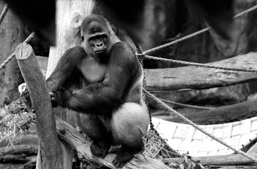 8340 Gorilla B & W